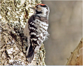 Mindre hackspett - Dryobates minor - Lesser Spotted Woodpecker