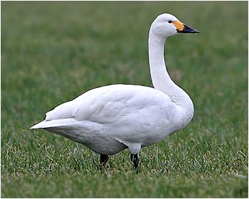 Mindre sångsvan - Cygnus columbianus - Tundra Swan