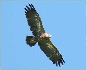 Mindre skrikörn - Clanga pomarina - Lesser Spotted Eagle
