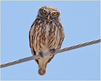 Minvervauggla - Athene noctua - Little Owl