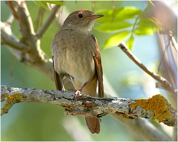 Näktergal -  Luscinia luscinia - Thrush Nightingale