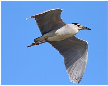 Natthäger - Nycticorax nycticorax - Night Heron