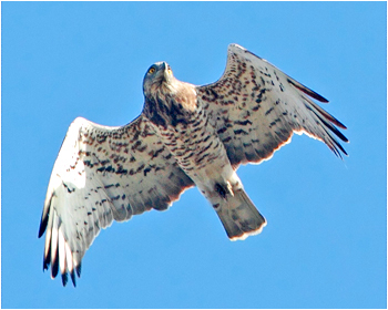 Ormörn - Circaetus gallicus - Short-toed Eagle