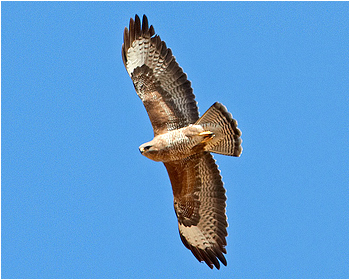 Ormvråk - Buteo buteo - Common Buzzard