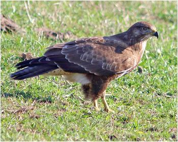 Omvråk (Common Buzzard) vid Enetri, Öland