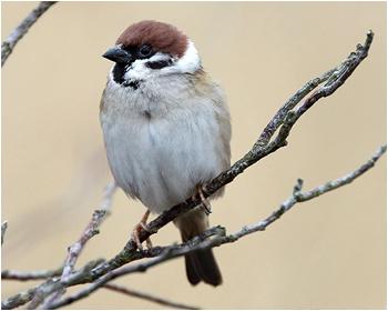 Pilfink - Passer montanus - Tree Sparrow