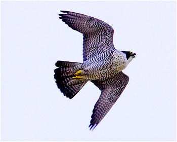Pilgrimsfalk - Falco peregrinus - Peregrine Falcon