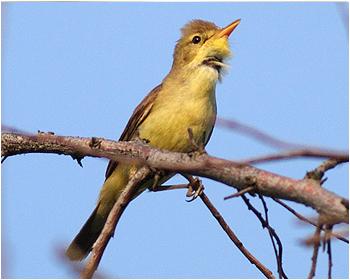 Polyglottsångare - Hippolais polyglotta - Melodious Warbler