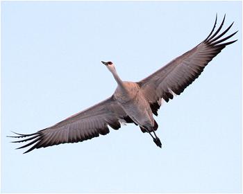 Prärietrana - Grus canadensis - Sandhill Crane