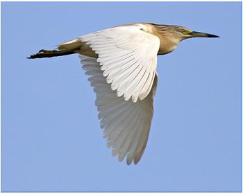 Rallhäger - Ardeola ralloides - Squacco Heron