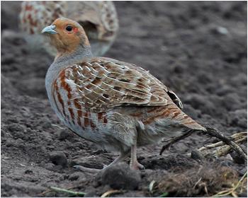 Rapphöna - Perdix perdix - Grey partridge