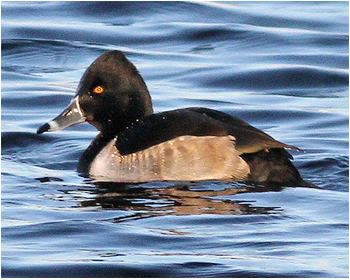 Ringand - Aythya collaris - Ring-necked Duck