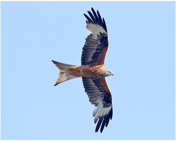 Röd glada - Milvus milvus - Red Kite