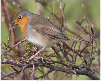 Rödhake - Erithacus rubecula - Robin