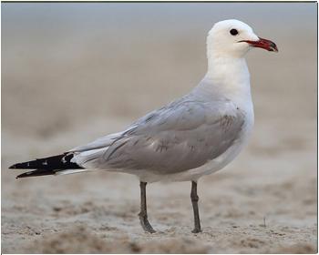 Rödnäbbad trut -  Ichthyaetus audouinii - Audouin's gull