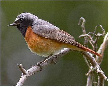 Rödstjärt - Phoenicurus phoenicurus - Common Redstart