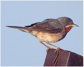 Rödstrupig sångare - Sylvia cantillans - Subalpine Warbler