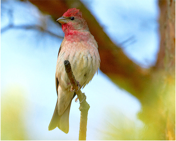 Rosenfink - Carpodacus erythrinus - Common Rosefinch
