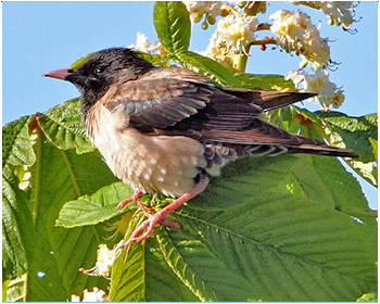 Rosenstare - Pastor roseus - Rose-coloured Starling