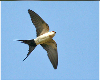 Rostgumpsvala - Cecropis daurica - Red-rumped Swallow