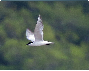 Sandtärna (Gull-billed Tern)
