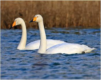 Sångsvan - Cygnus cygnus - Whooper Swan