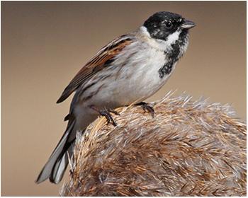 Sävsparv - Emberiza schoeniclus - Reed Bunting