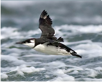 Sillgrissla - Uria aalge - Common Murre