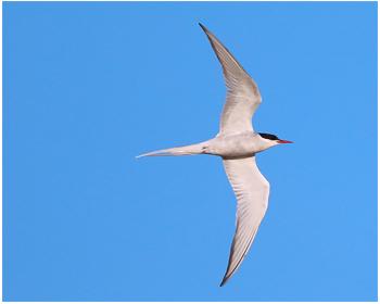 Silvertärna - Sterna paradisaea - Arctic Tern