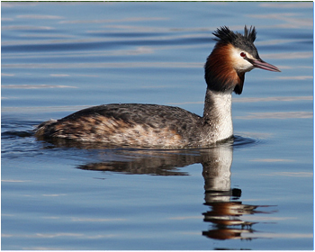 Skäggdopping - Podiceps cristatus - Great Crested Grebe