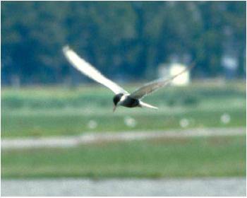 Skäggtärna - Chlidonias hybrida - Whiskered Tern