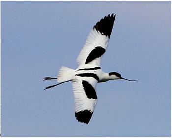 Skärfläcka - Recurvitostra avosetta - Avocet