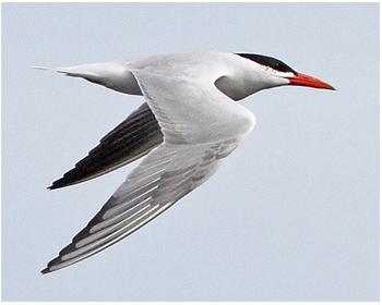 Skräntärna - Hydroprogre caspia - Caspian Tern