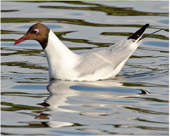 Skrattmås - Larus ridibundus  - Black-headed Gull
