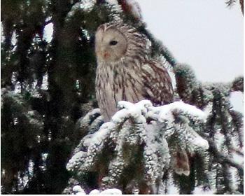 Slaguggla - Strix uralensis - Ural Owl