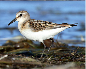 Småsnäppa - Calidris minuta - Little Stint