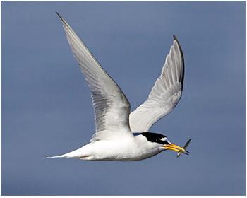 Småtärna - Sterna albifrons - Little Tern