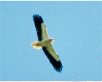 Smutsgam - Neophron percnopterus - Egyptian Vulture