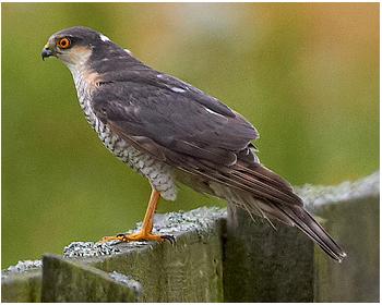 Sparvhök - Accipter nisus - Sparrowhawk