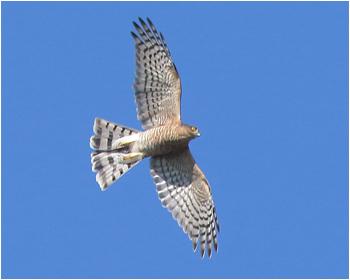 Sparvhök (Sparrowhawk) vid Källmo, Gelleråsen