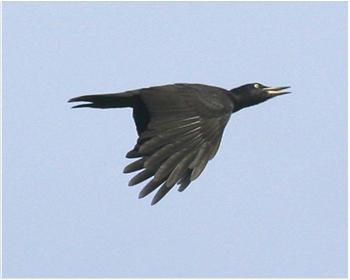 Spillkråka - Dryocopus martius - Black Woodpecker