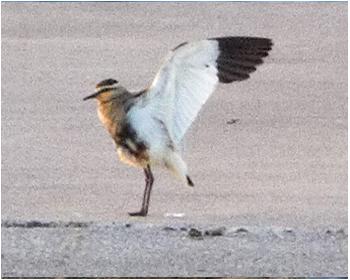 Stäppvipa - Vanellus gregarius - Sociable Lapwing