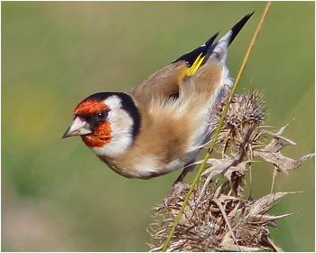 teglits (Goldfinch) vid Gräsgårds hamn, Öland