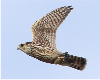 Stenfalk - Falco columbarius - Merlin