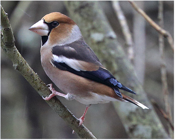 Stenknäck - Cocothraustes cocothraustes  - Hawfinch