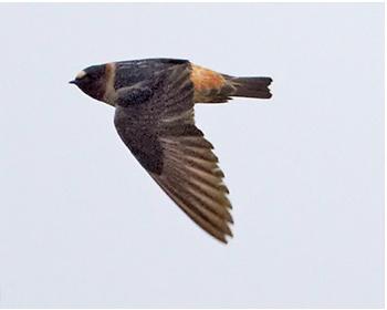 Stensvala - Petrochelidon pyrrhonota - American Cliff Swallow