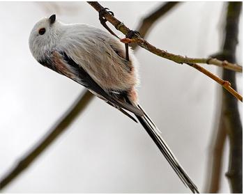 Stjärtmes - Aegithalos caudatus - Long-tailed Tit