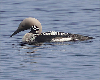 Storlom (Black-throated Diver)