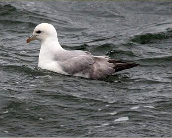 Stormfågel vid Stora Amundö