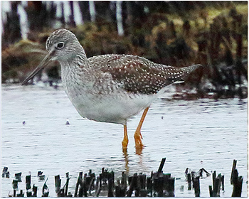 Större gulbena - Tringa melanoleuca - Greater Yellowlegs
